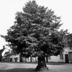 Large tree on Ixworth High Street